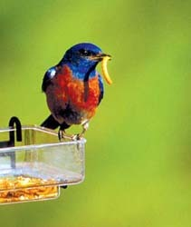 Western Bluebird on SideDish with Mealworm